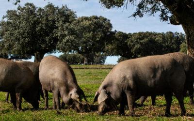 ¿Qué es el cerdo Ibérico de bellota?